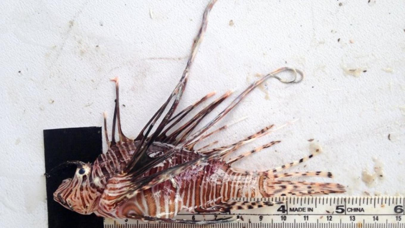 Measuring each individual fish is important in order to gather as much data possible – Utila Lionfish Derby