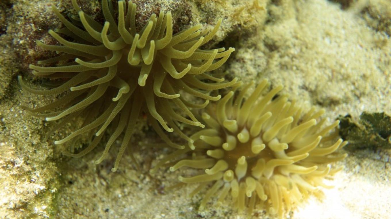 Anemones / Las anémonas del mar – Carey Satin