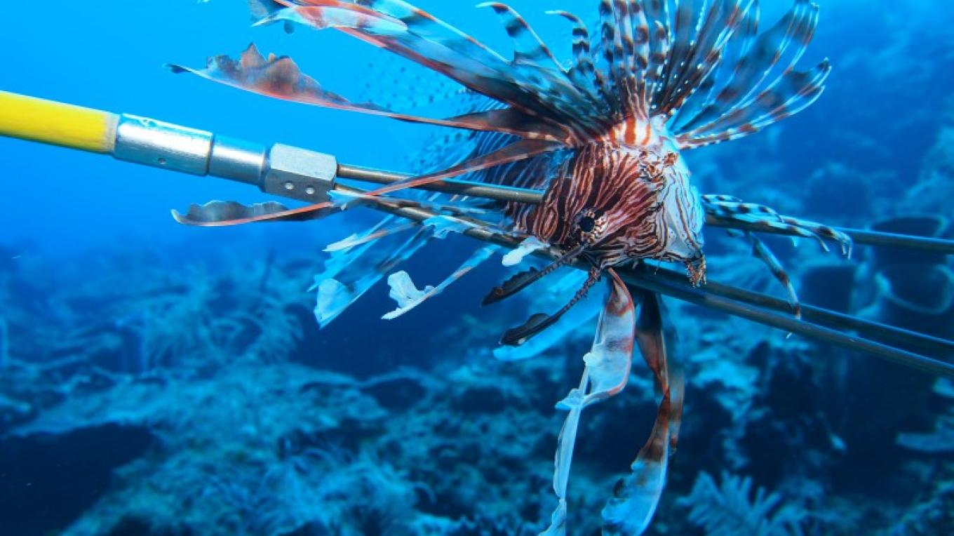 The RMP issues lionfish licenses together with a registered Hawaiian sling - a legal harpoon-like spear used to control the invasive lionfish population. – Manlio Martinez