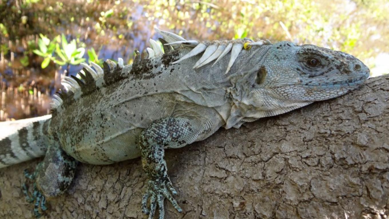 Utila Spiny-tailed iguana (Ctenosaura bakeri) endemic to the island of Utila and highly endangered due to the overhunting and habitat destruction/ La iguana endémica de Utila, Ctenosaura bakeri. – Andrea Martinez