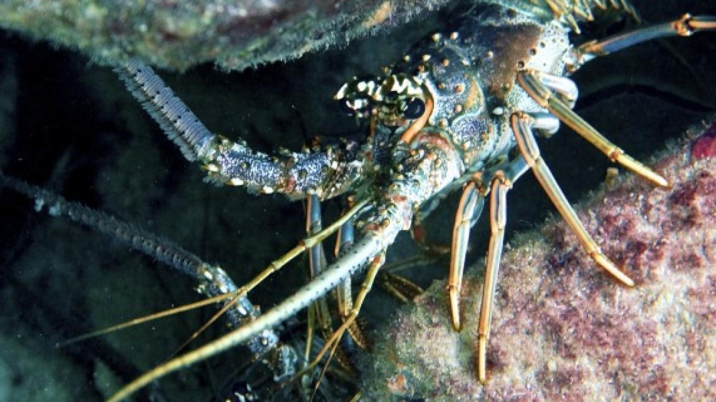 Lobsters / Las langostas – Carey Satin