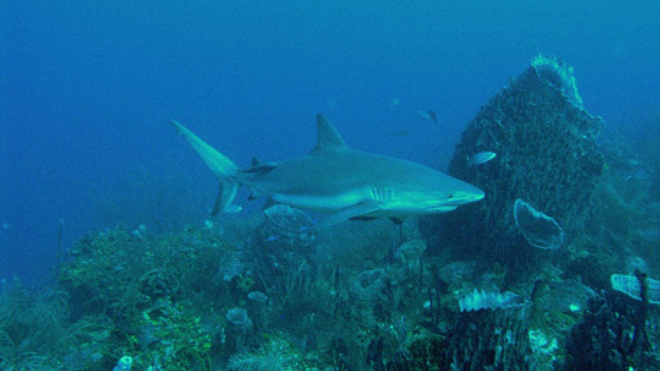 one of the sharks at Cara a Cara (Face to Face) – Ian Drysdale