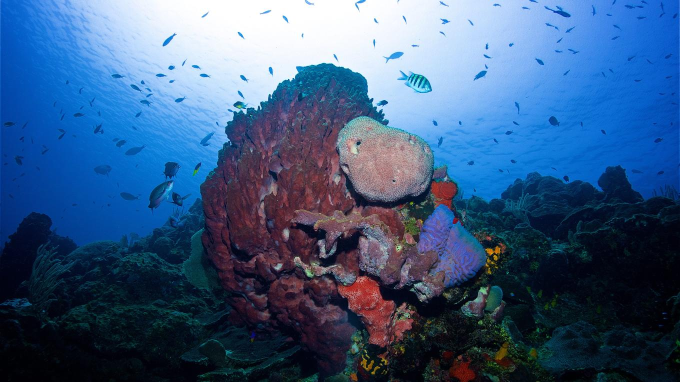 The Bay Islands National Marine Park is a Marine Protected Area (MPA) that covers the islands of Utila, Roatan and Guananja - Barrel sponge in Roatan – Kieran Reeves