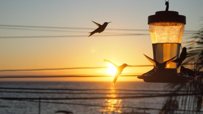 Sunset Hummingbird Fiesta – Manlio Martinez