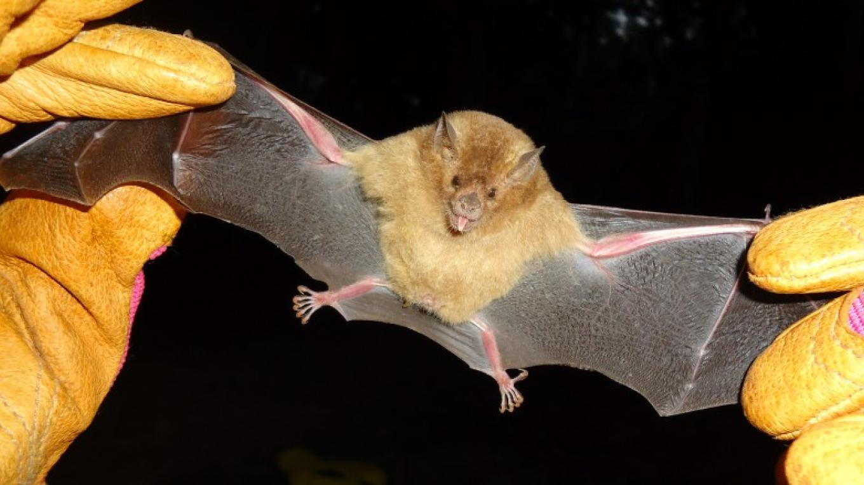 Long tongued Bat (Glossophaga spp.)/ Murciélago de lengua larga (Glossophaga spp.) – Camilla Daoust