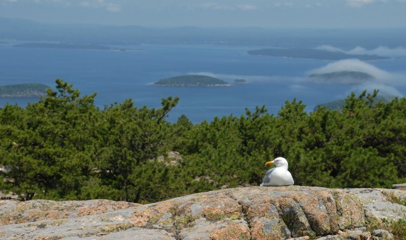 A sea gull rests atop granite ledges overlooking Frenchman Bay.