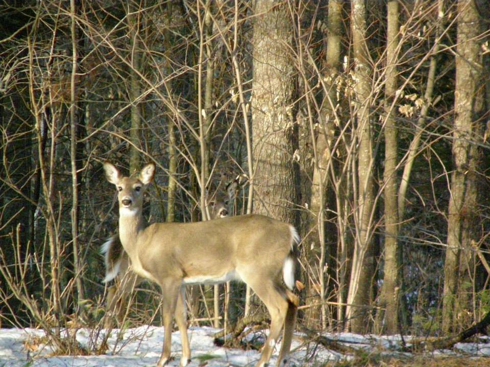 Spring doe, one of many healthy deer in the herds of Western Maine!