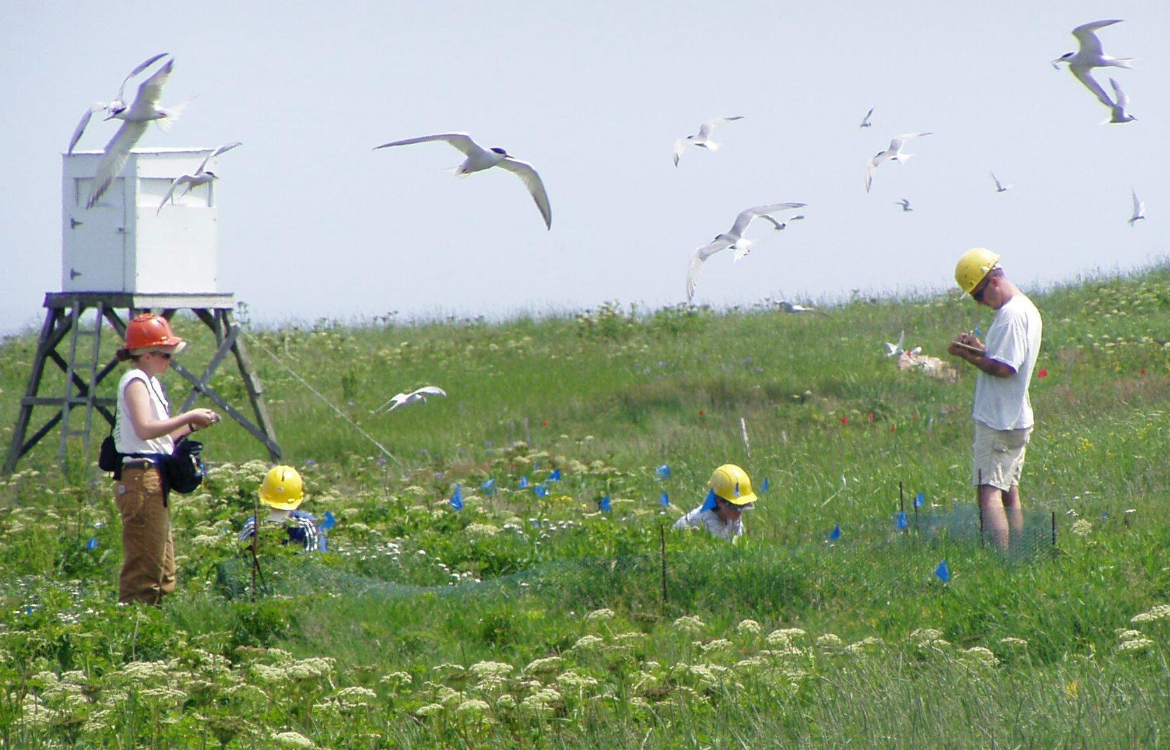 Nest census on Petit Manan Island