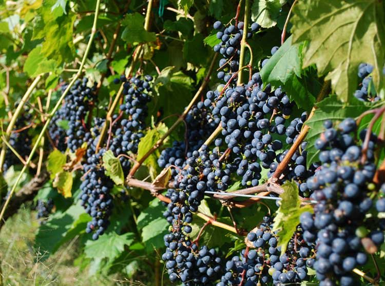 Ripening grapes at Savage Oakes Vineyard & Winery, Union, Maine