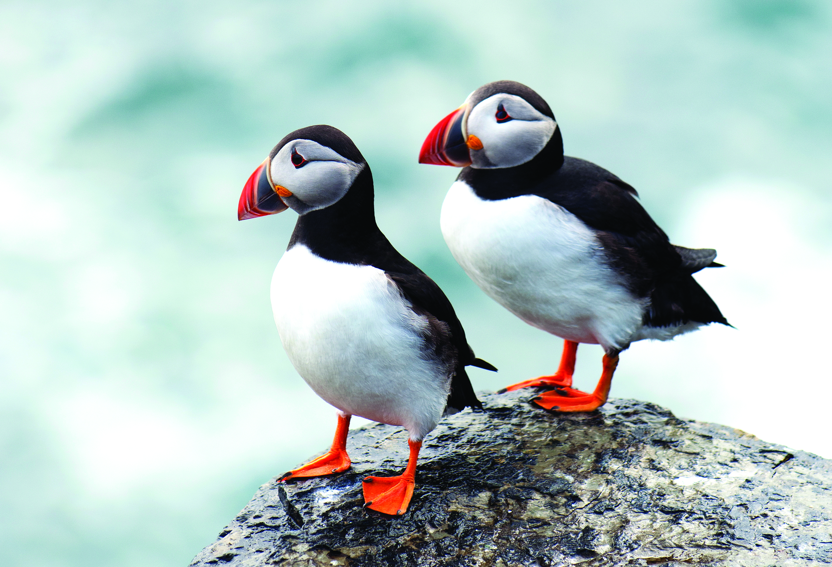 Puffins call the coast of DownEast Acadia home during the summer months.