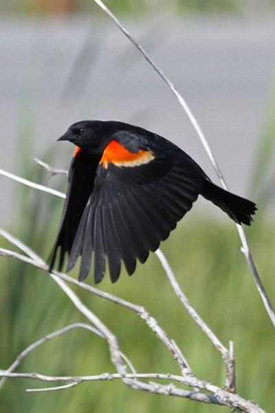 Red-winged Blackbird in flight.
