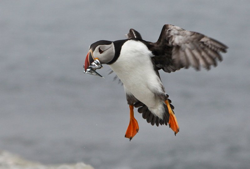 An Atlantic Puffin prepares for landing with a mouthful of Herring.