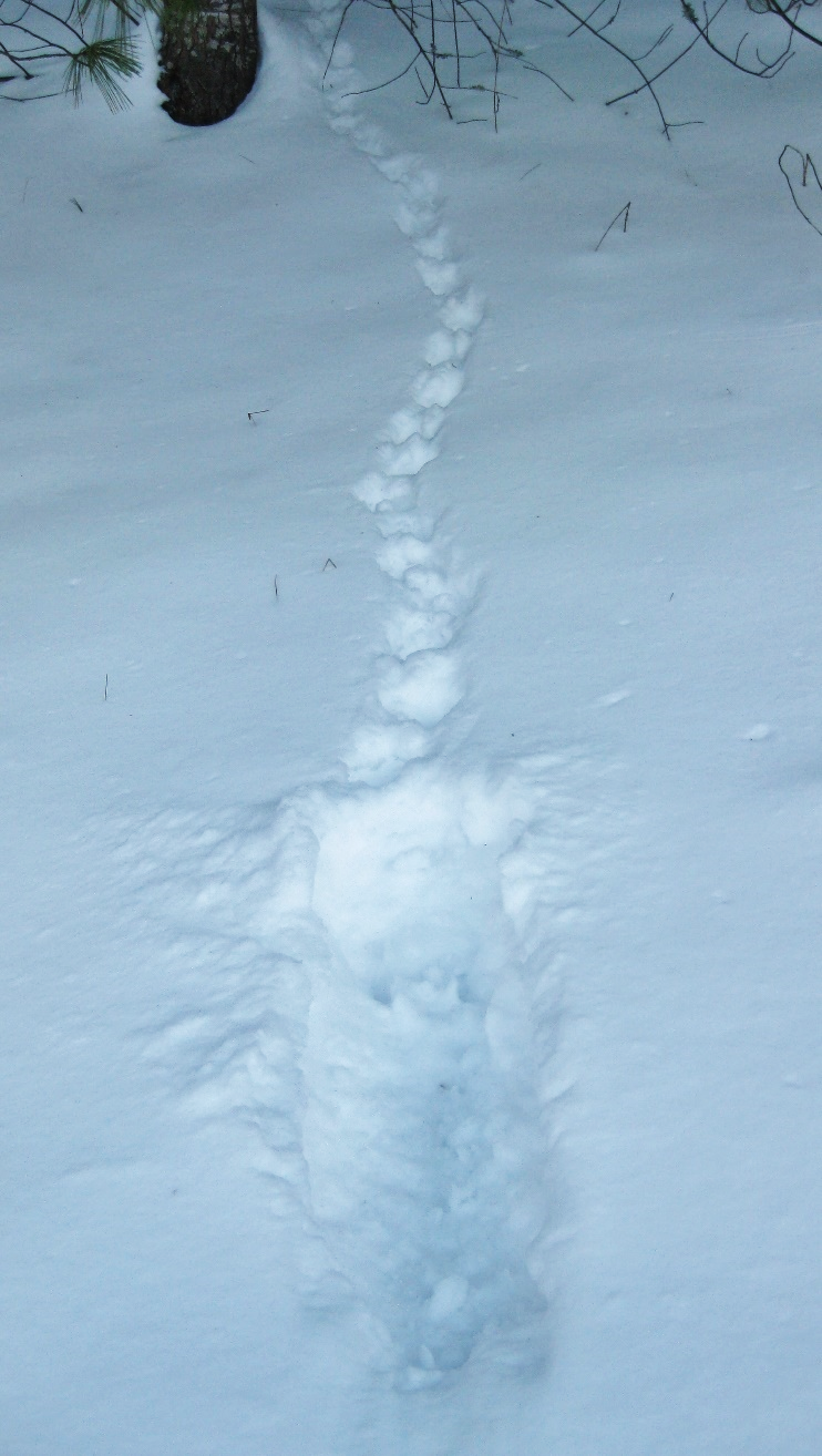 Grouse landing site and tracks in deep snow, heading to its snow roost.