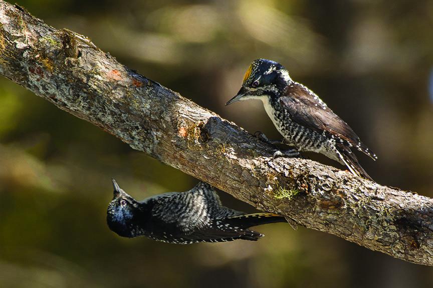 Aroostook County Birding Trail