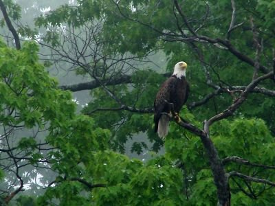 Local Eagle by the Kennebec River seen while on kayak trip
