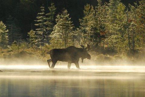 Moose Watching Tour Maine