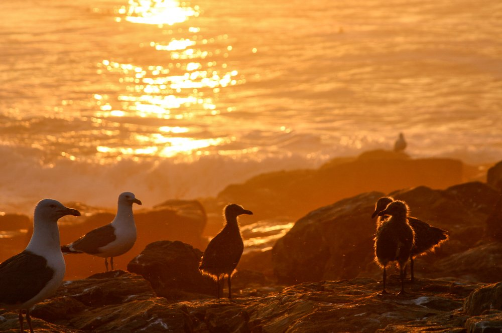 Fledgling seagulls touched by golden morning light.