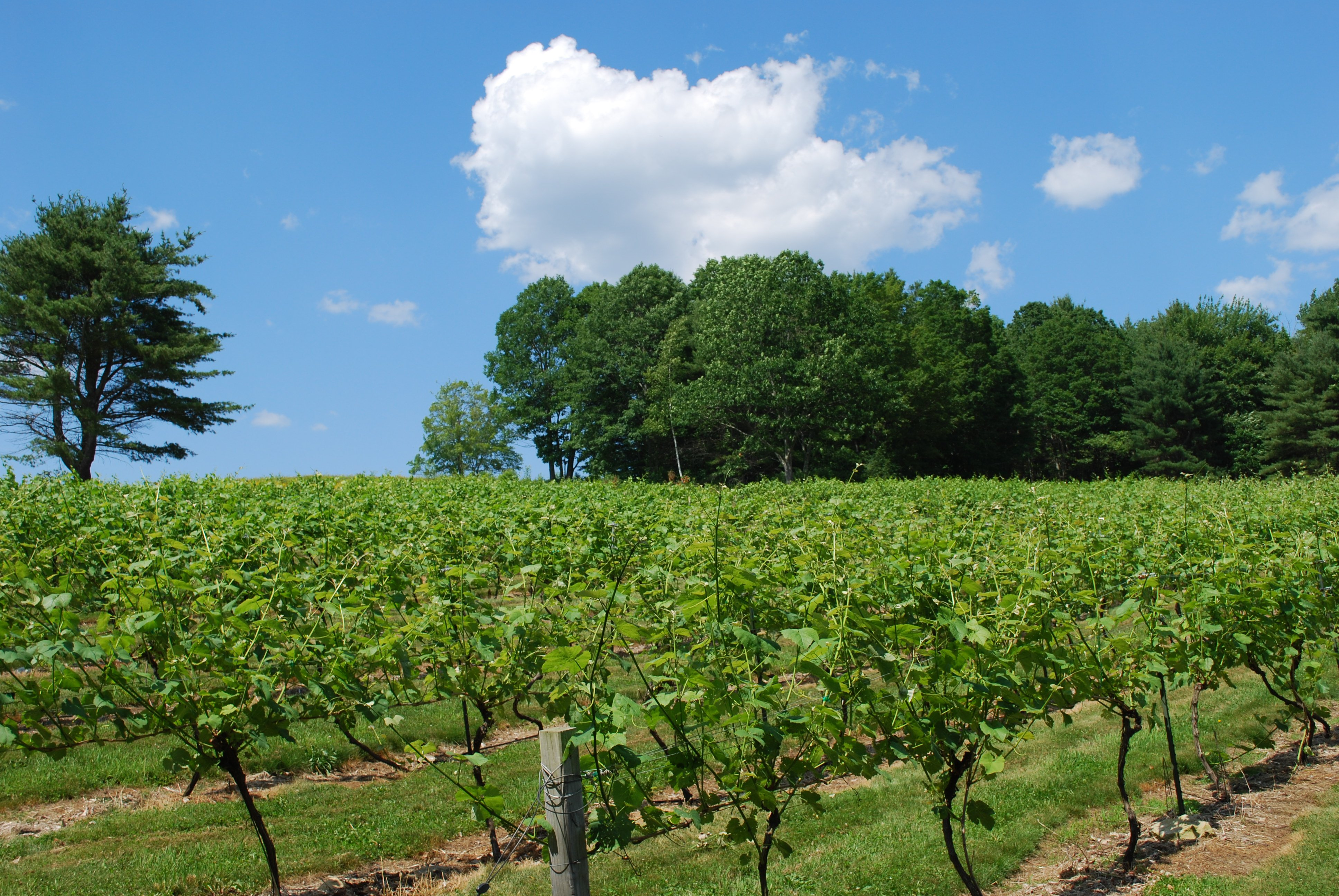 Early summer grape vines at Savage Oakes, Union, Maine.