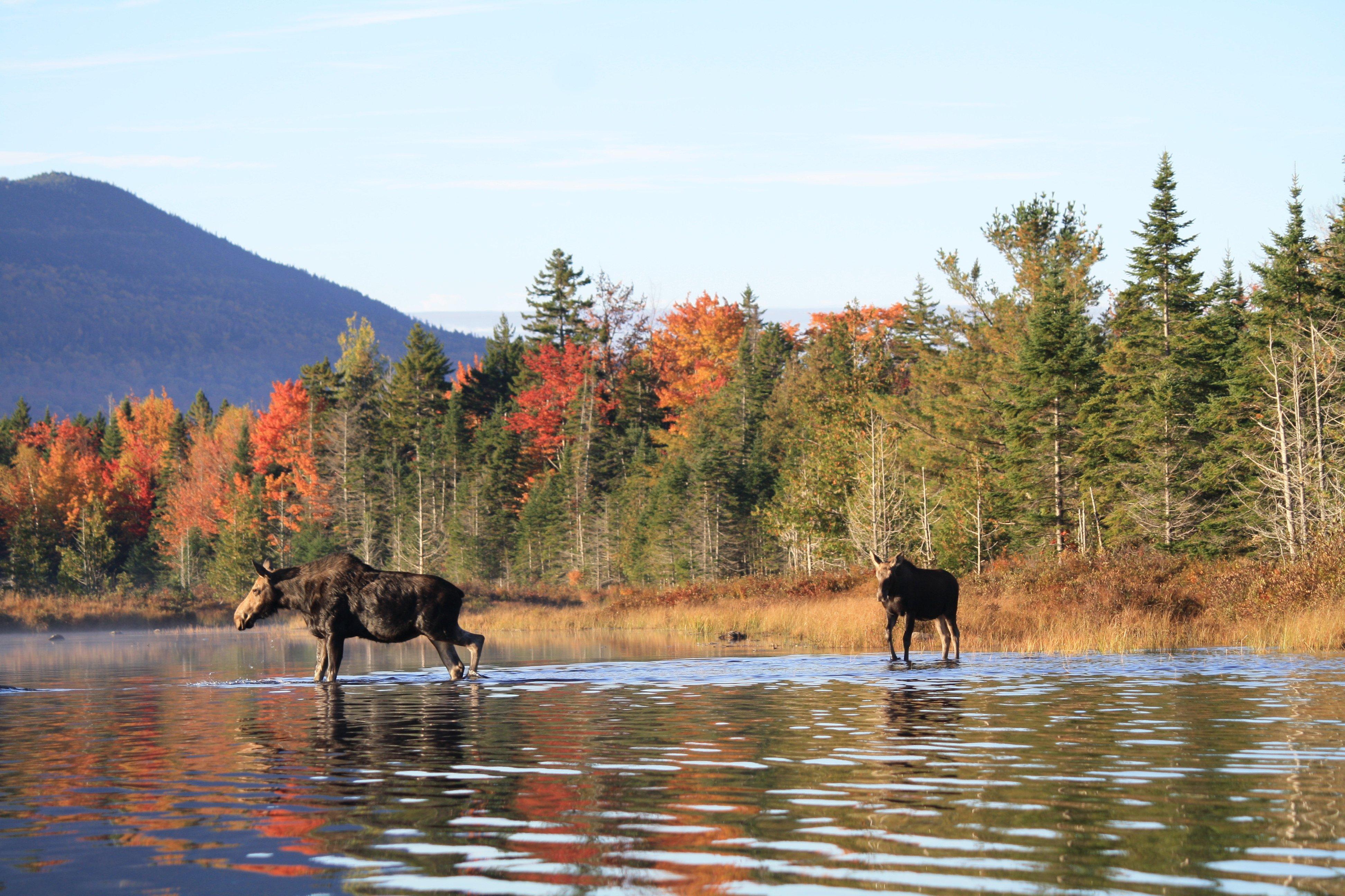 Moosehead Lake Maine Moose Tour