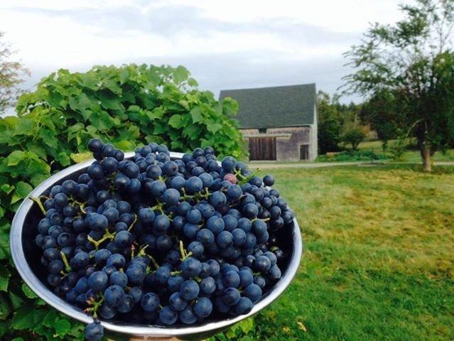 Organic concord grape on a Downeast Farm Tour