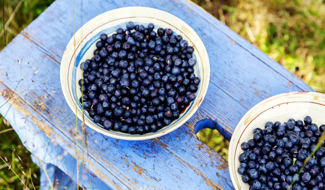 Pick your own Maine Wild Blueberries