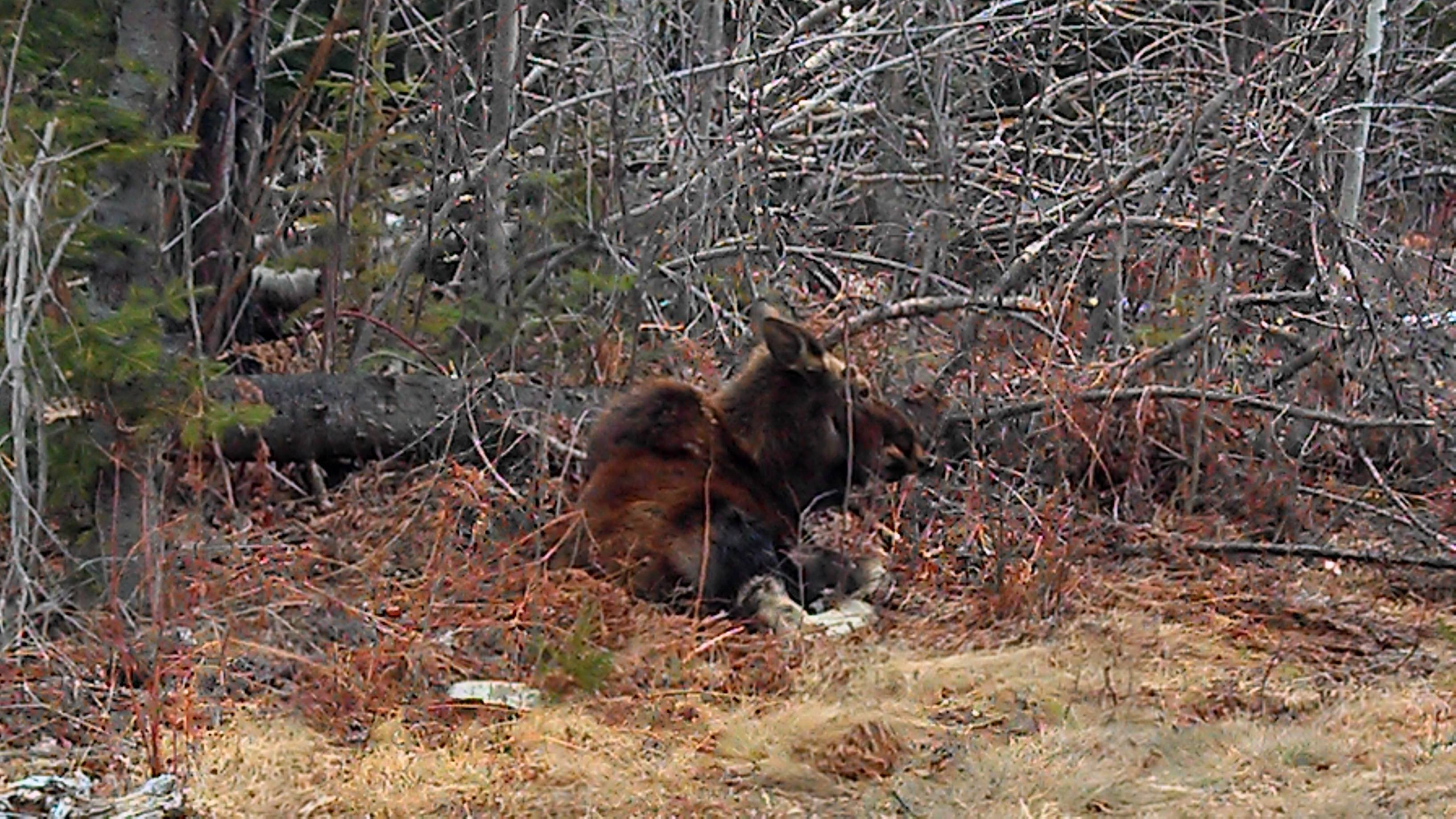 Early spring moose watching
