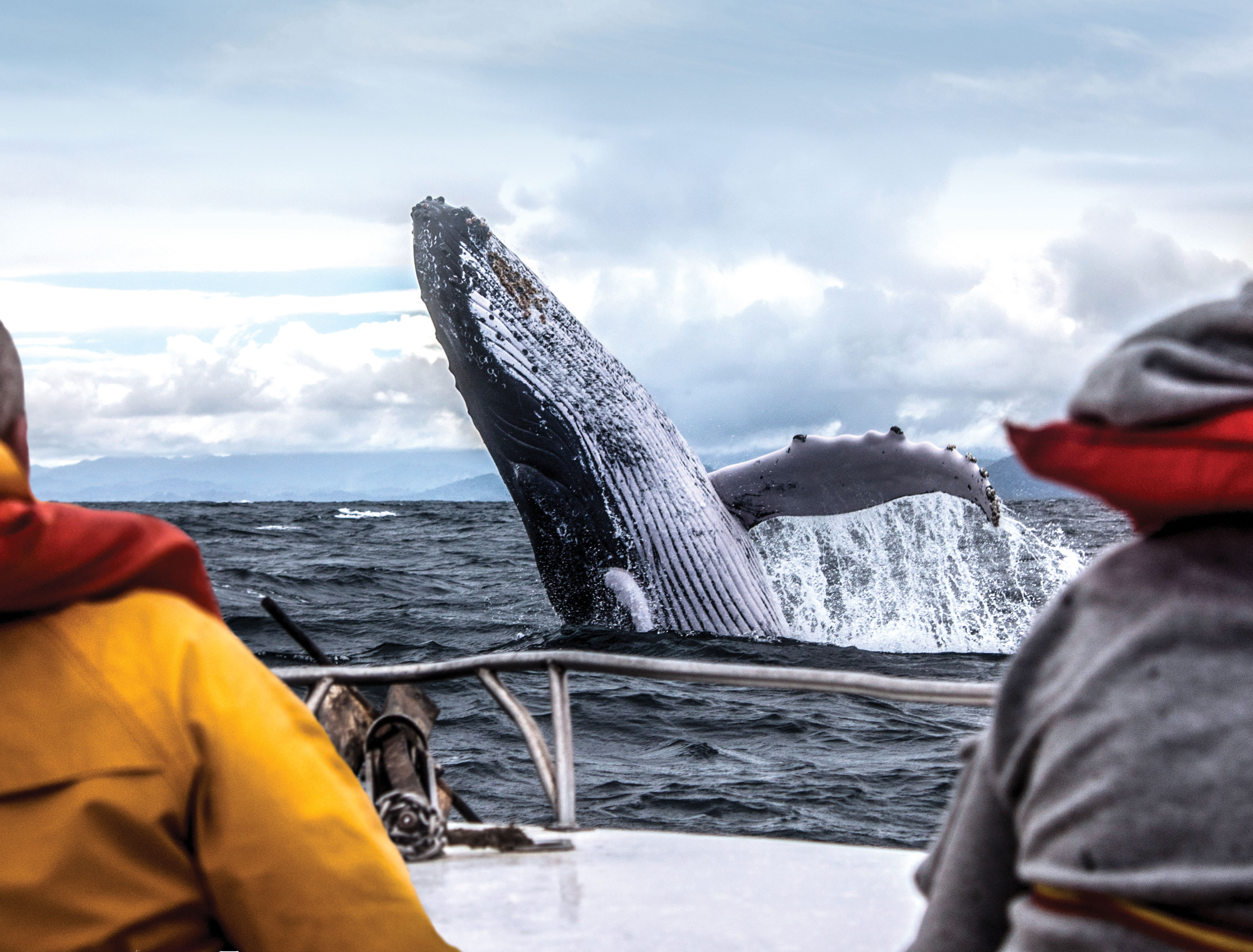 Whale breaches beside an excursion boat.