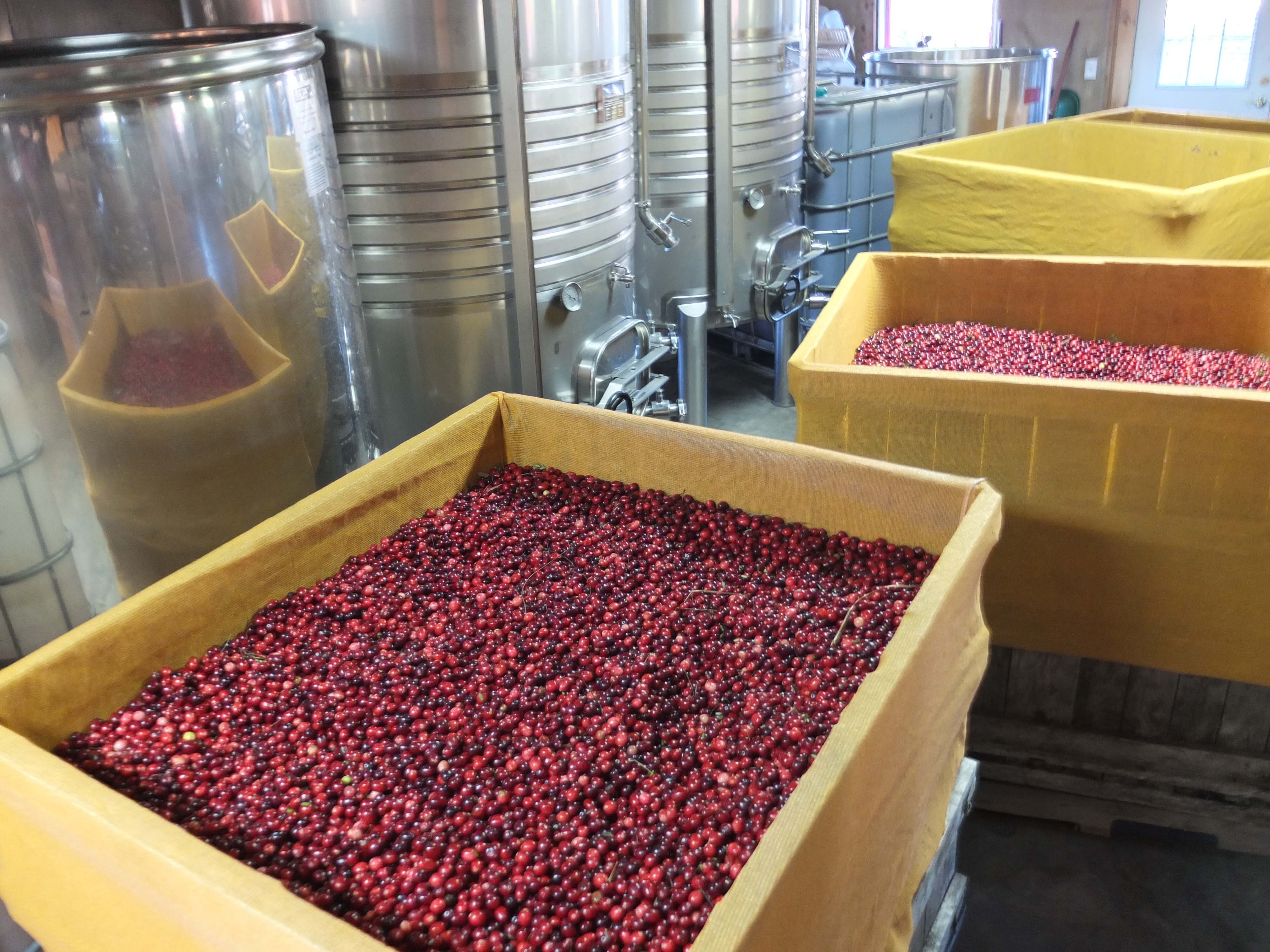 Maine cranberries waiting to be crushed.
