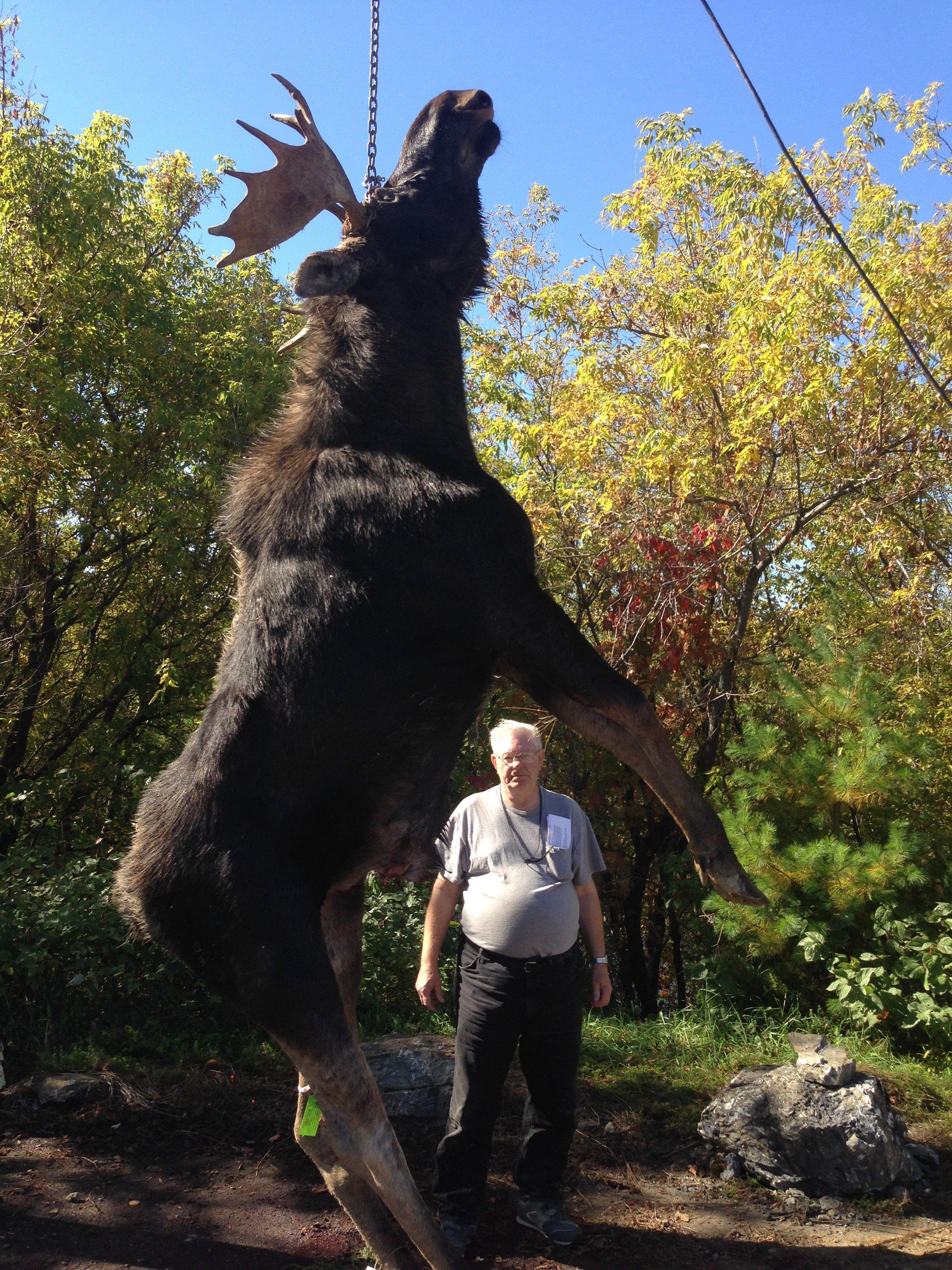 800lb Maine Moose
