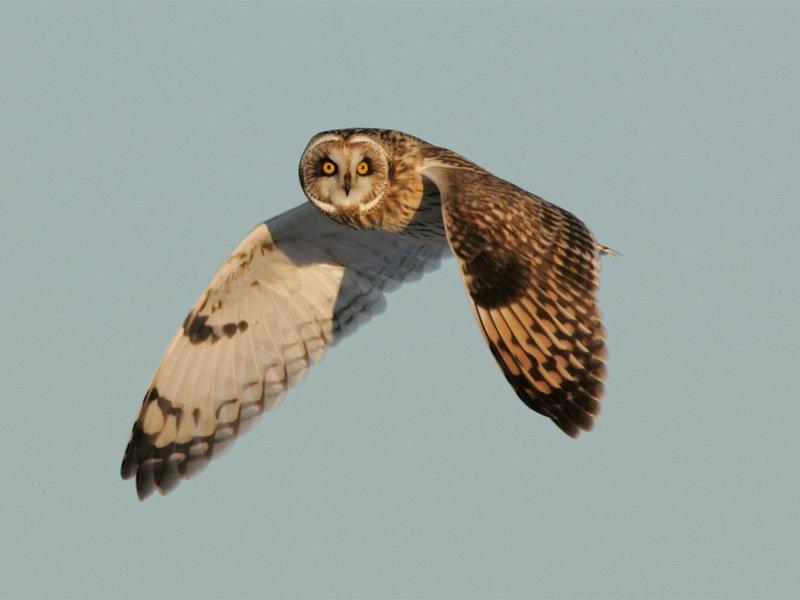 Small Eared Owl in flight.