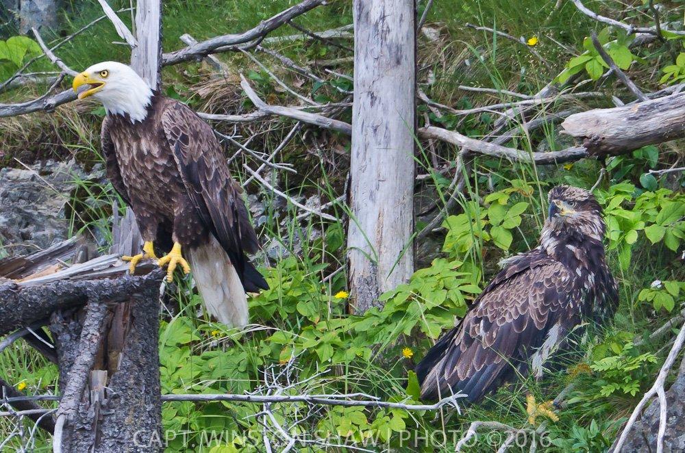 Adult & Subadult Bald Eagle