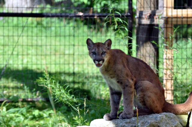 the park has a 6 month old cougar kitten
