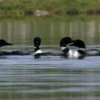Loons create evening symphonies