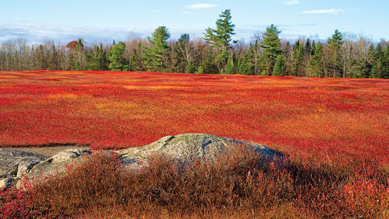 Wild Maine blueberry barrens are ablaze in Autumn.