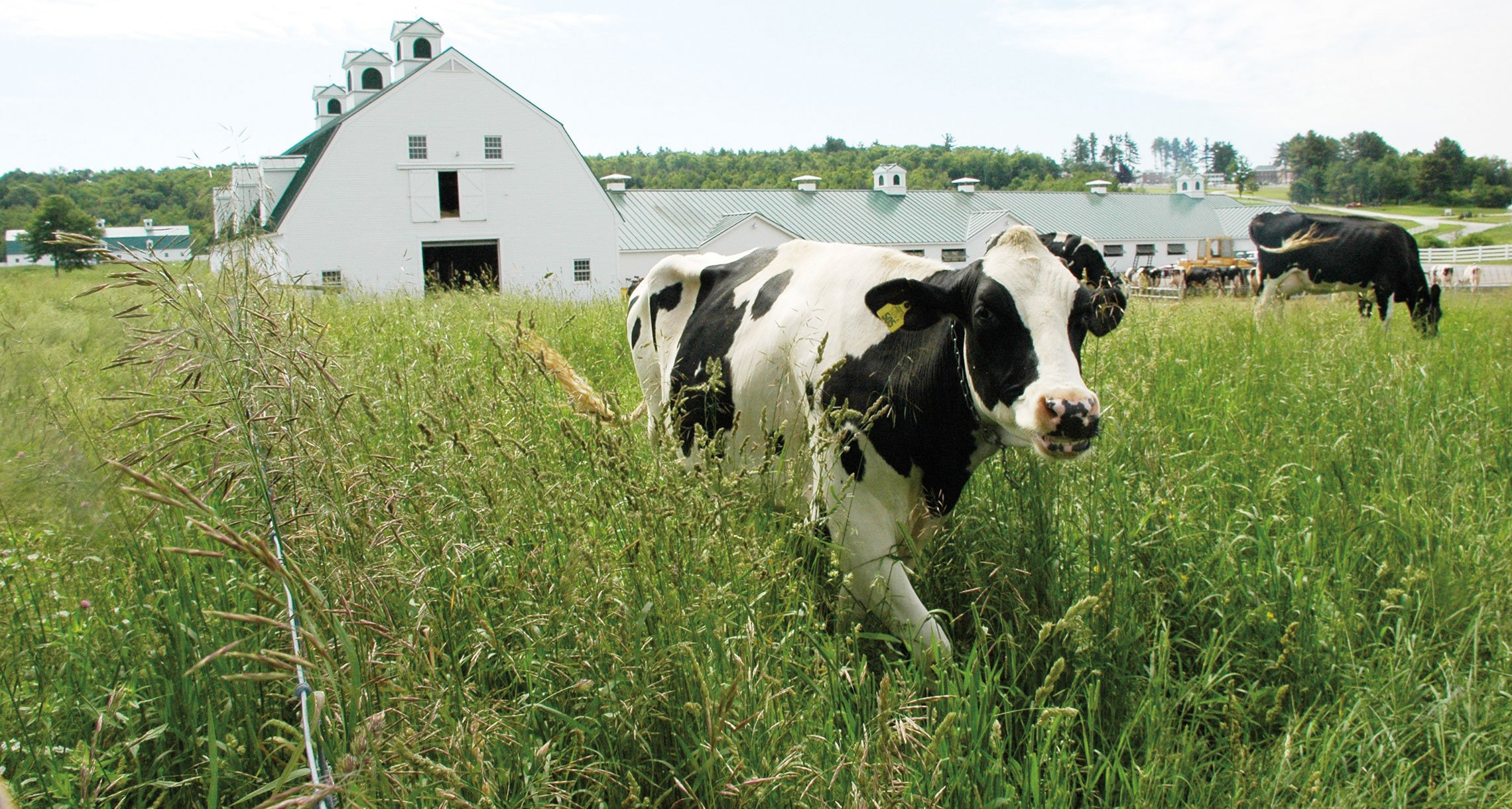 A content Holstein at Pineland Farms