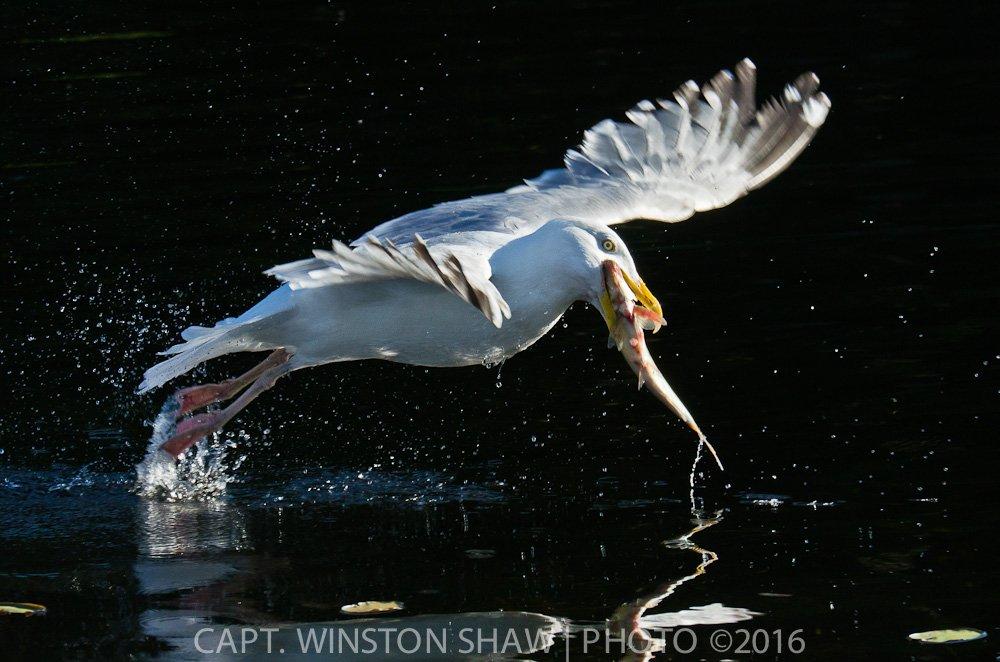 Herring Gull Catches Fish