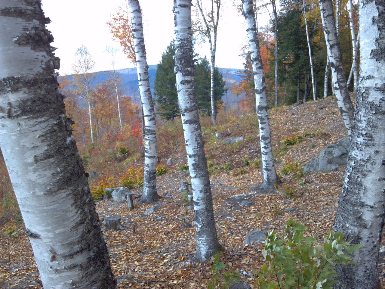 Birch grove in front of the cabin