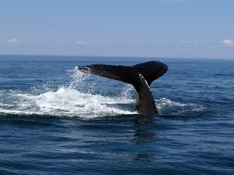 Whale watching of the Maine coast.