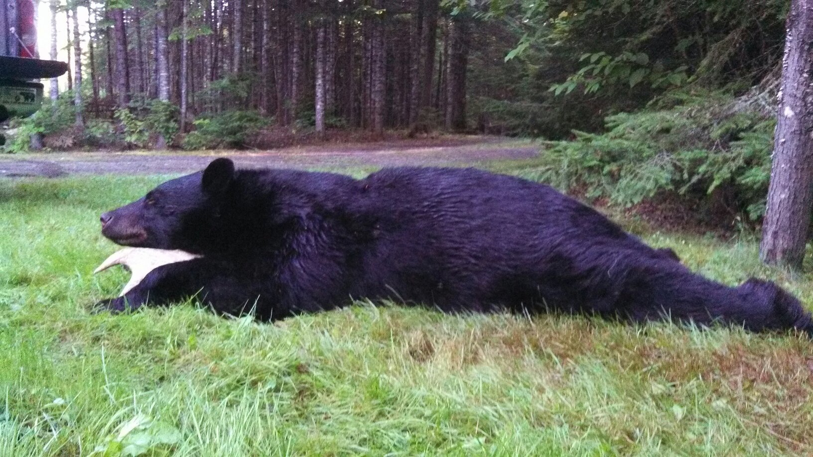 400 plus pound bear, beautiful creature, we eat and honor