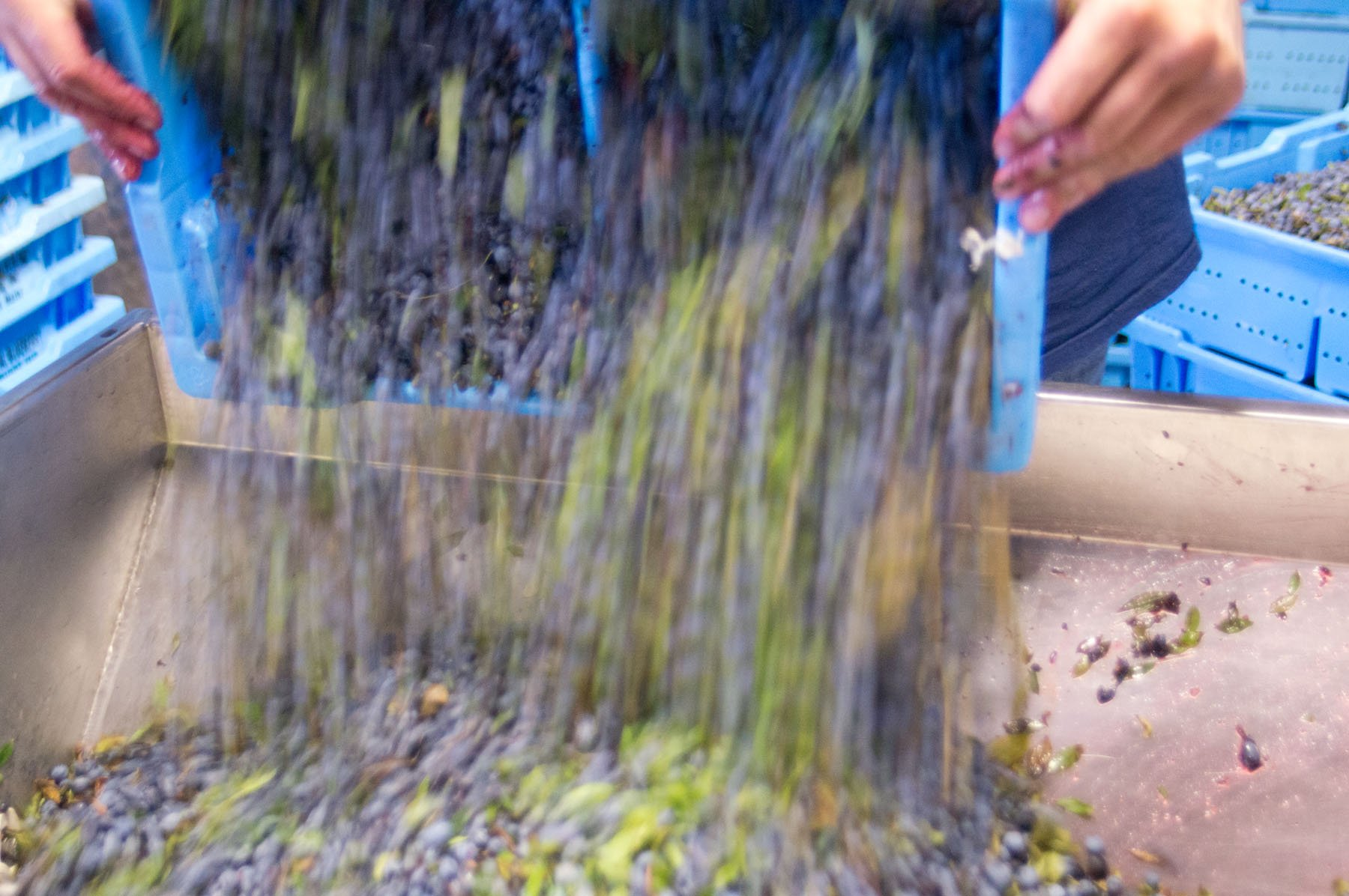 Blueberries being dumped into the crusher.