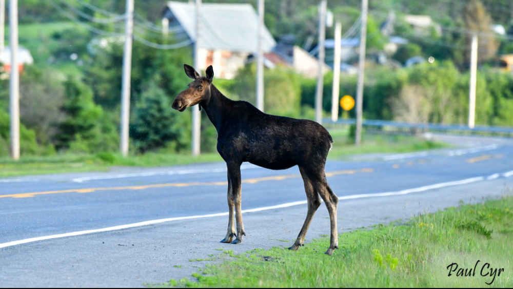 Watch for moose and other wildlife! Sometime they do sneak up on you!