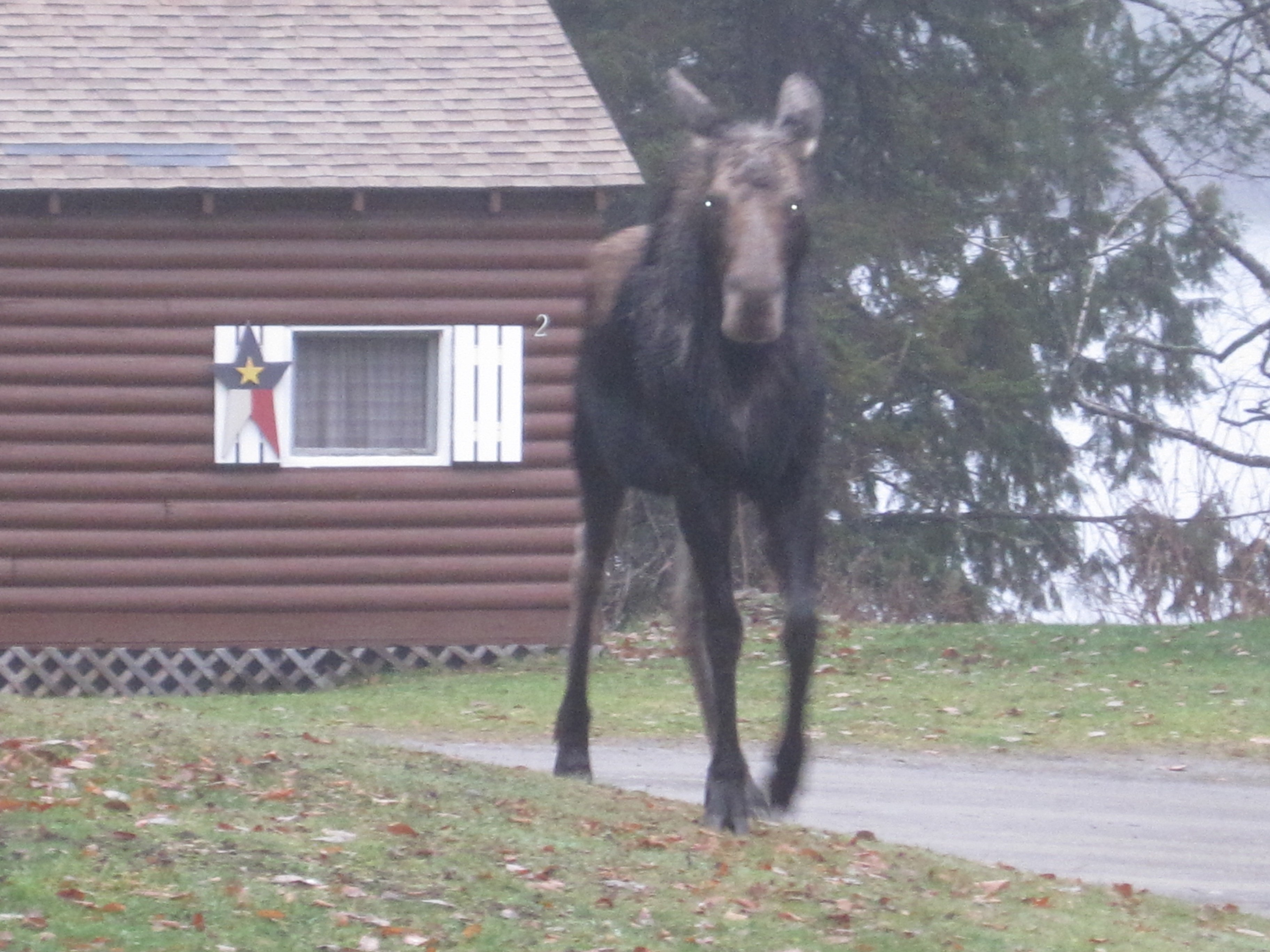 Close encounter with a young moose at the camps.