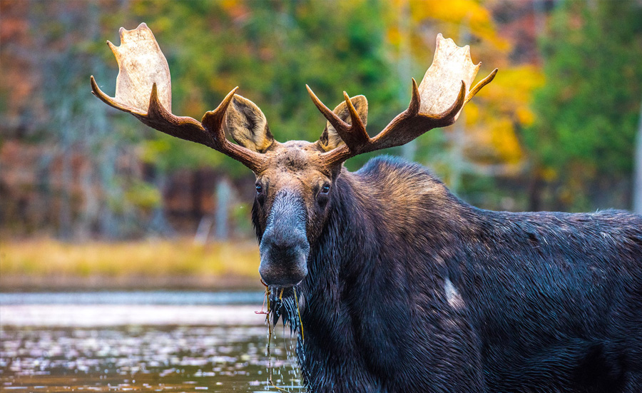 Skowhegan Moose Festival