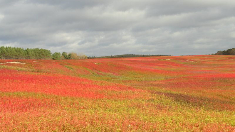 Blueberry Barrens in Autumn