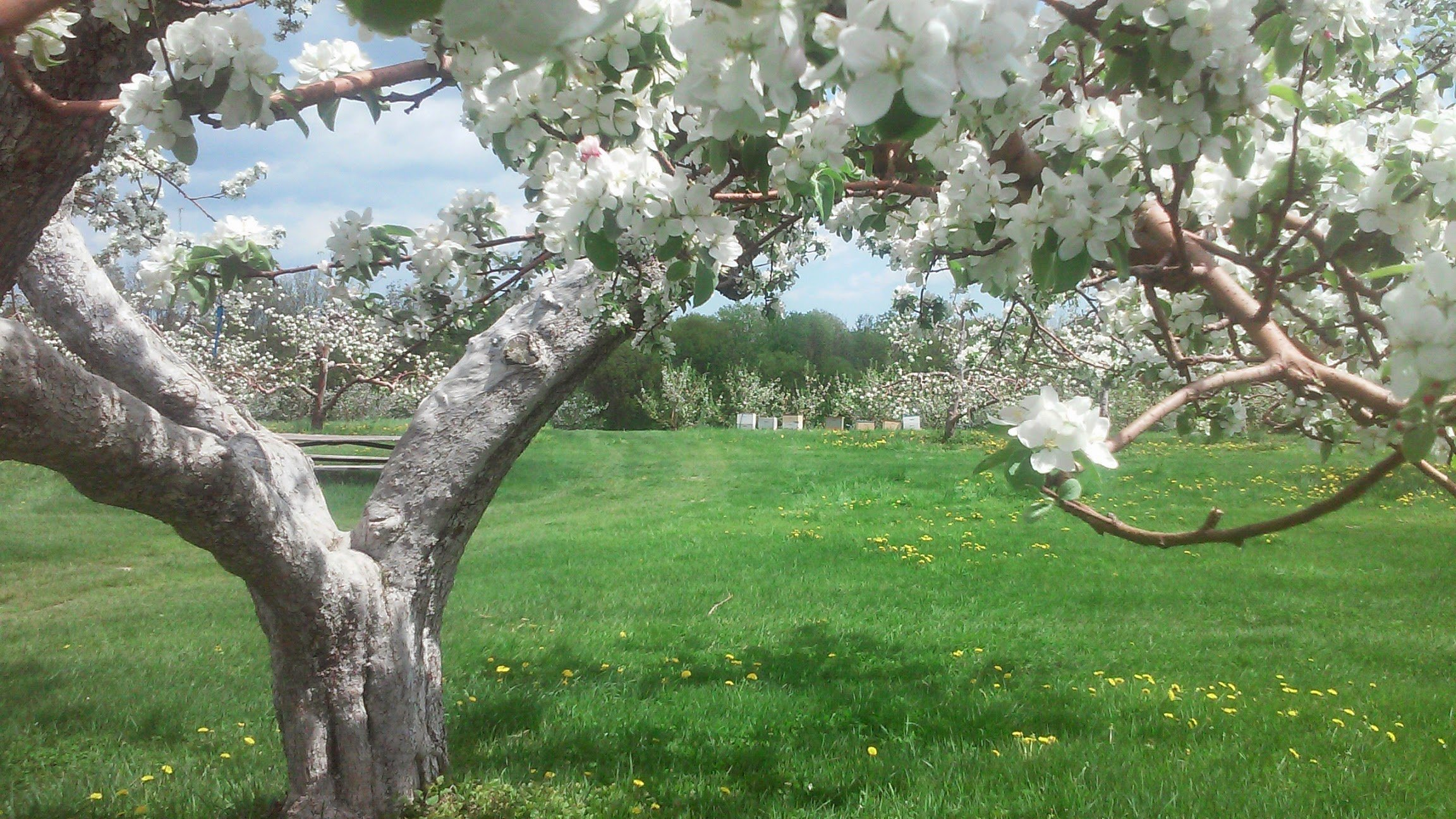 Full bloom in the Main Orchard