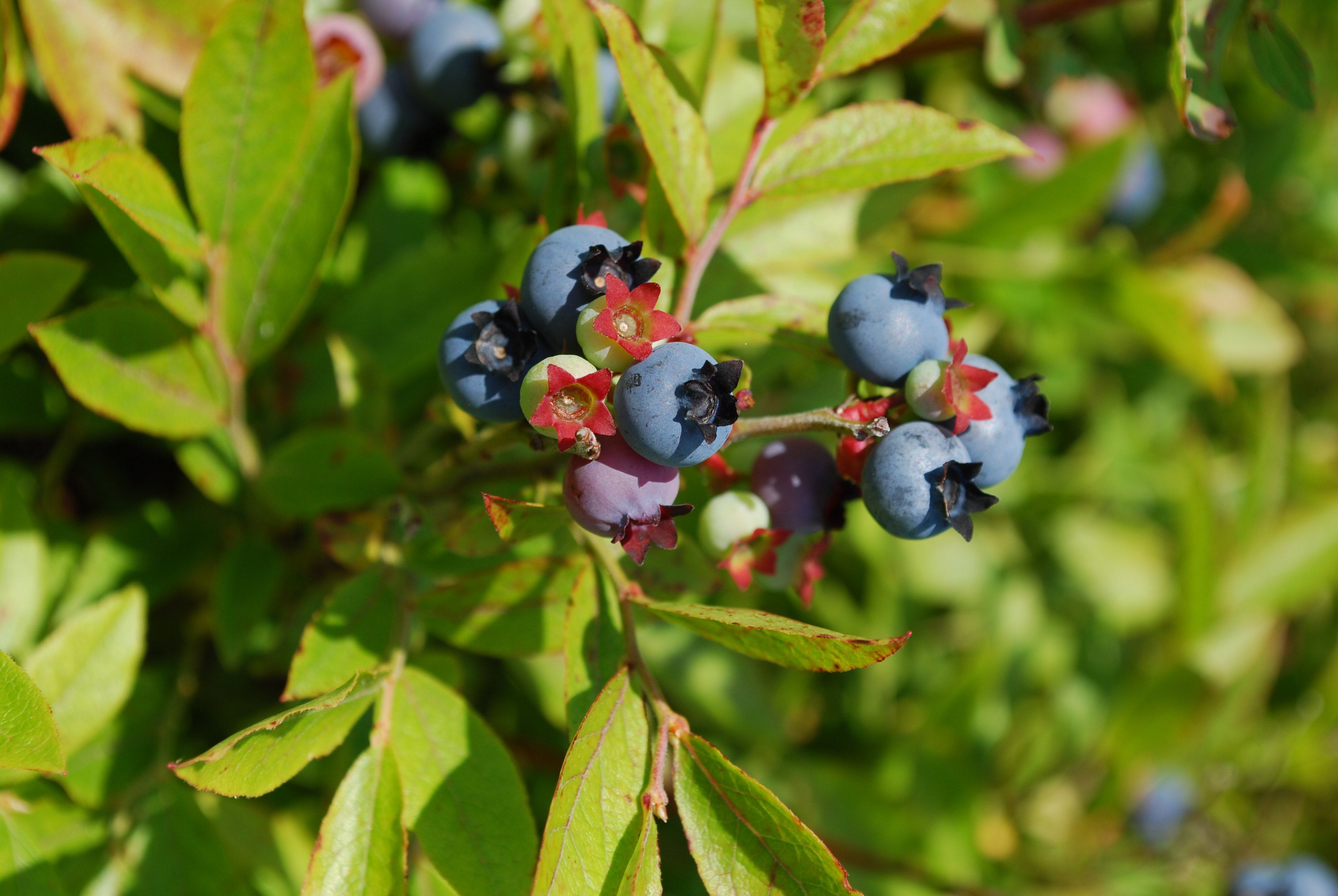 15 acres of Maine Wild Blueberries growing at Savage Oakes Vineyard & Winery, Union, Maine.