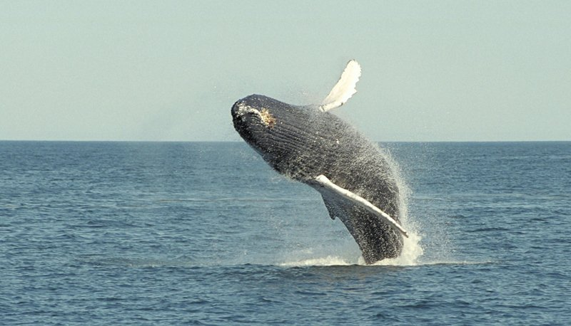 A Humpback whale breaches in mid-air off of the coast of Maine.
