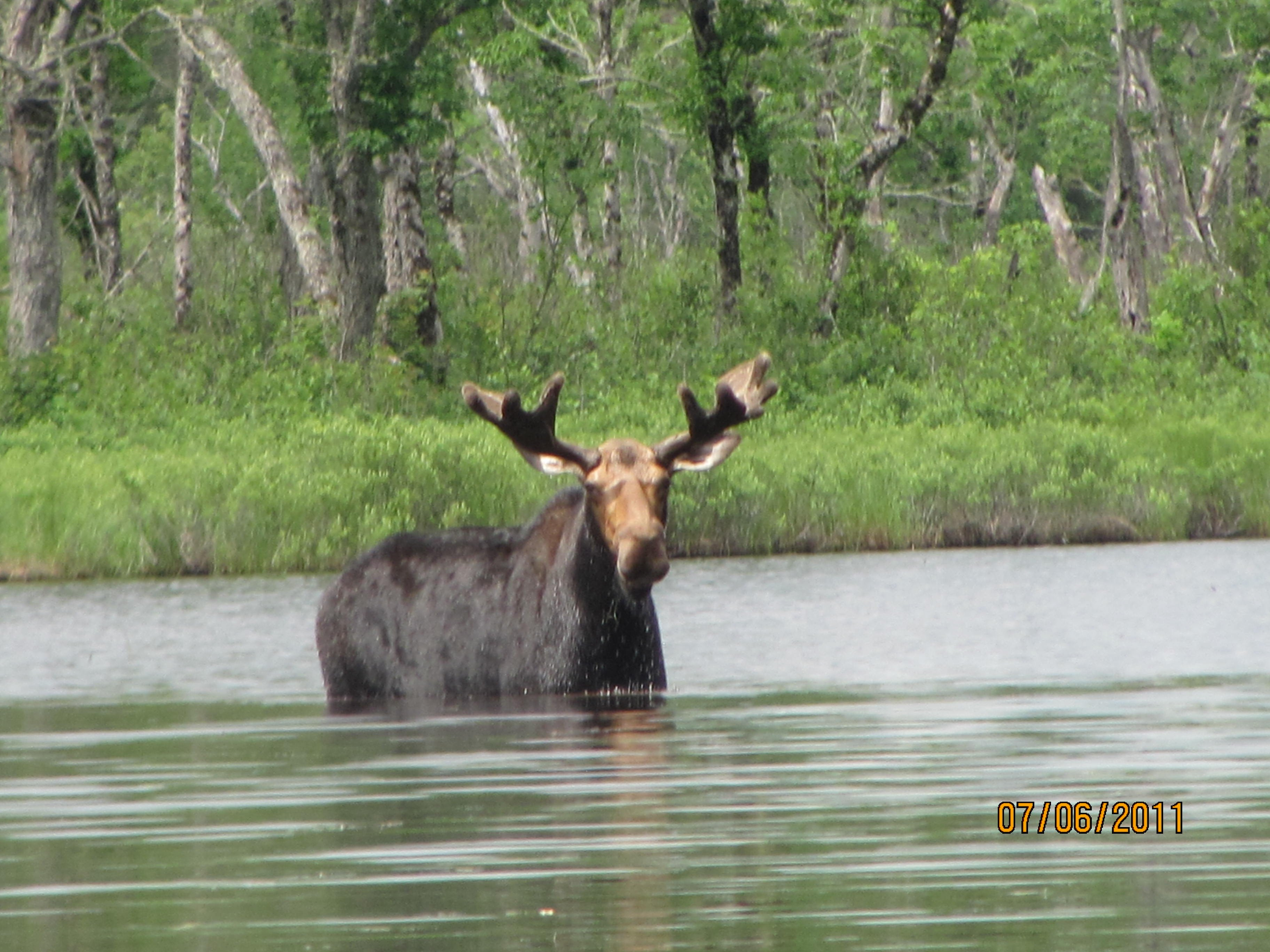 If you're lucky, you might get to see a Maine moose on your trip.