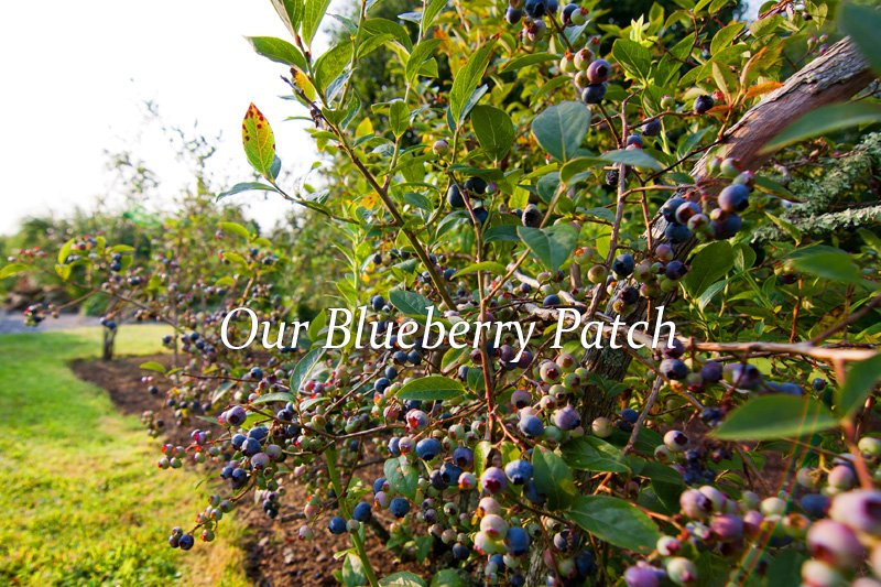 Blueberries from our gardens