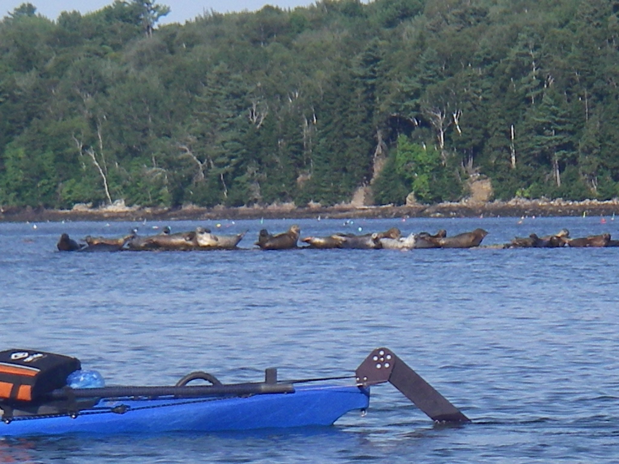 Seals basking on a ledge at low tide in Casco Bay.